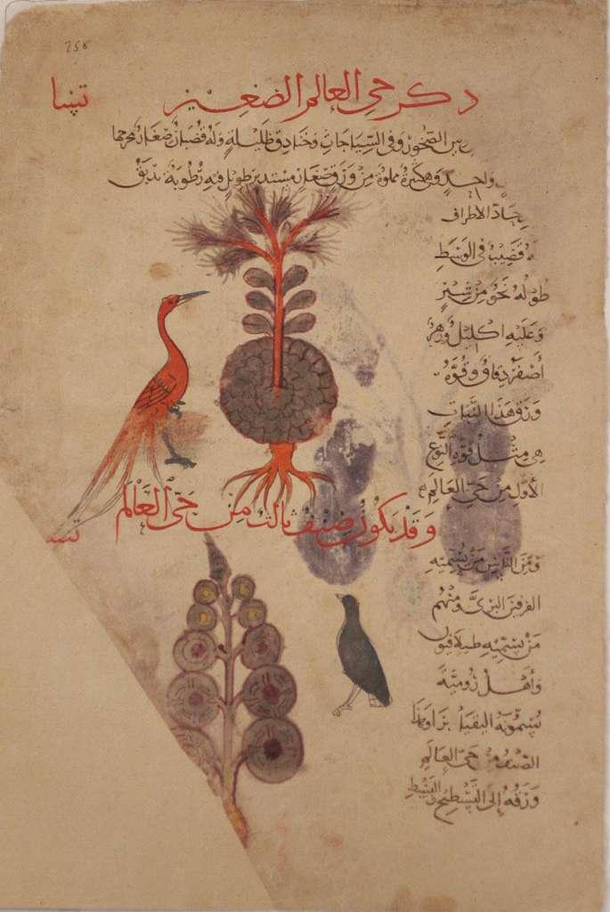Folio from a Materia Medica of Dioscorides