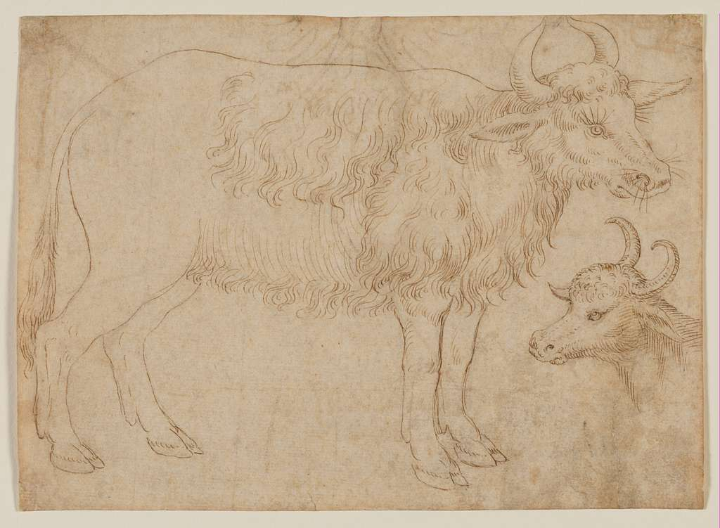 Study of Two Bovine Animals